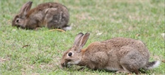 Rabbit Haemorrhagic Disease Virus Boost Roadshow