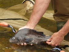 Macquarie perch reintroduction Community Event - Tarrawingee