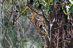 Boosting the population of Regent Honeyeaters in Victoria