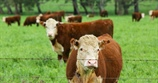 Cattle prices - Beef producers workshop