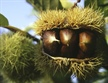 Effective grower vigilance in the fight against chestnut blight